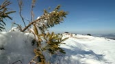 decorativo : Pine tree on snow