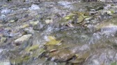 bystřina : Swiftly flowing clear water in shallow cold forest creek with stony bottom Dostupné videozáznamy