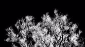 выгравированы : Tree crown swaying in the wind, black and white high contrast inverted video with engraving effect