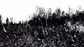 выгравированы : Meadow grass swaying in the wind, black and white high contrast video with engraving effect