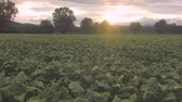 umbrie : Tobaccos field at sunset, aerial view graded, full hd, h264. Dostupné videozáznamy