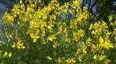 süpürge : Light wind in broom flowers... Sunny day in Provence... Stok Video