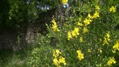 süpürge : Light Wind in broom flowers near ruins... Sunny day in Provence...