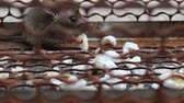 álló : rat in cage Stock mozgókép