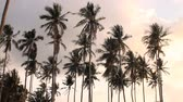 silence : coconut trees in the sky Stock Footage