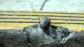 molusco : Snail Crawling on Cement Drawing into Shell and Out