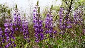 lupine : Purple Lupine Flowers Blowing in Wind Stock Footage