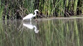 reed : White Egret Hunting And Eating In Water And Reeds