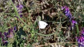 lupine : White Moth On Lupine Plants Taking Flight Stock Footage