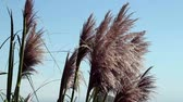 kék : Pampas Grass Against Blue Sky Moving In Breeze