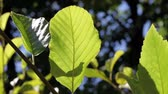 takken : Green Leaf Moving In Gentle Breeze Met Zonlicht
