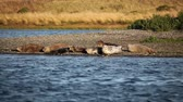 Group Of Seals On River Bank Oregon