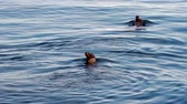 záliv : Couple Of Sea Lions Swimming In Bay Monterey California Dostupné videozáznamy