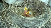 recém nascido : Two newly hatched hairy fieldfare chicks in a nest opening their beaks for food.