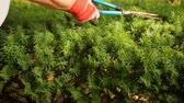 ladin : Using manual scissor clippers to trim hedges Stok Video