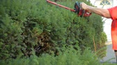 ladin : Using electric clippers to trim yard hedges Stok Video