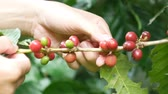 coffee cherry : coffee farmer hand harvest selecting picking fresh red ripen arabica coffee cherries from coffee trees. Stock Footage