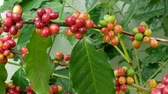red coffee cherries : Cherry coffee beans on the branch of coffee plant before harvesting. Stock Footage