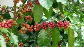 coffee cherries : Close up of cherry coffee beans on the branch of coffee plant before harvesting. Stock Footage