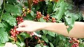 coffee tree : Cherry coffee beans hands harvesting ,arabica coffee berries harvesting Stock Footage