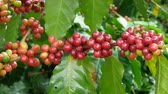 coffee tree : Close up of cherry coffee beans on the branch of coffee plant before harvesting