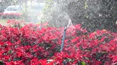 Watering with sprinkler, watering ornamental plants flower beds in the garden