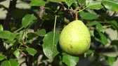Close up video of a green pear hanging on the tree and moving in the wind Vídeos