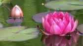 Zooming in and out on red water lily flower with movement from the wind