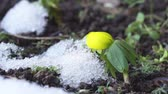 Video zooming in on a single winter aconite flower with melting snow next to it Vídeos