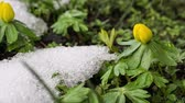 Panning and zooming time lapse video of winter aconite or eranthis flowers next to melting snow