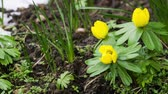 Panning and zooming time lapse video of winter aconite or eranthis flowers Vídeos