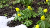 Panning from the left on winter aconite with a little snow next to them Vídeos