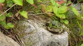Green frog sitting on a rock surrounded by vegetation Vídeos