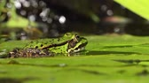 Close up video of a european green frog sitting on a water lily leaf in sun light filmed from the side at low angle looking to the right side