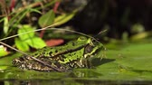 Close up video of a european green frog sitting on a water lily leaf in sun light filmed from the side at low angle looking to the right side behind some straw