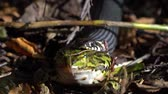 Front view of european grass snake that has caught and is eating a green frog video