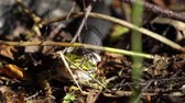 Front view of european grass snake that has caught and is eating a green frog while dragging it away video Vídeos
