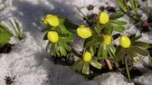 Timelapse video of snow melting on a group of winter aconite