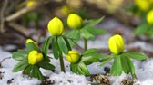 Video of a winter aconite group in snow filmed from a very low angle