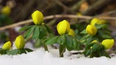 Video of a winter aconite group in snow filmed from a very low angle while panning from left to right