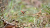 spletitý : Movement of a red dragon fly