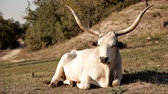 boynuzlu : White bull on a green meadow
