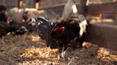 havran : Rooster and chicken walk around the farm Dostupné videozáznamy