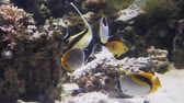egzotizm : Yellow bright fish swim among the coral reefs Stok Video