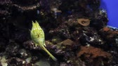 egzotizm : Yellow Angel Fish Pomacanthus annularis and Longhorn Cowfish Lactoria Cornuta underwater. The world under water, the ocean