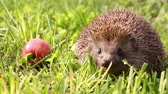 light : Hedgehog is walking and sniffing in the grass at summer, red apples around