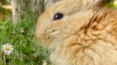 размыто : Fluffy brown rabbit sniffing close up