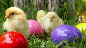 brother : Baby chicks on the green grass among eatser eggs