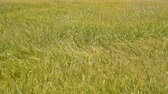 grain growing : yellow barley field with ripe barley rippling in the wind in Jeju island, Korea.