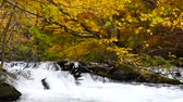 buk : Water stream with nature sounds flowing through the beautiful autumn forest on Oirase walking trail in Towada Hachimantai National Park,  Aomori, Japan